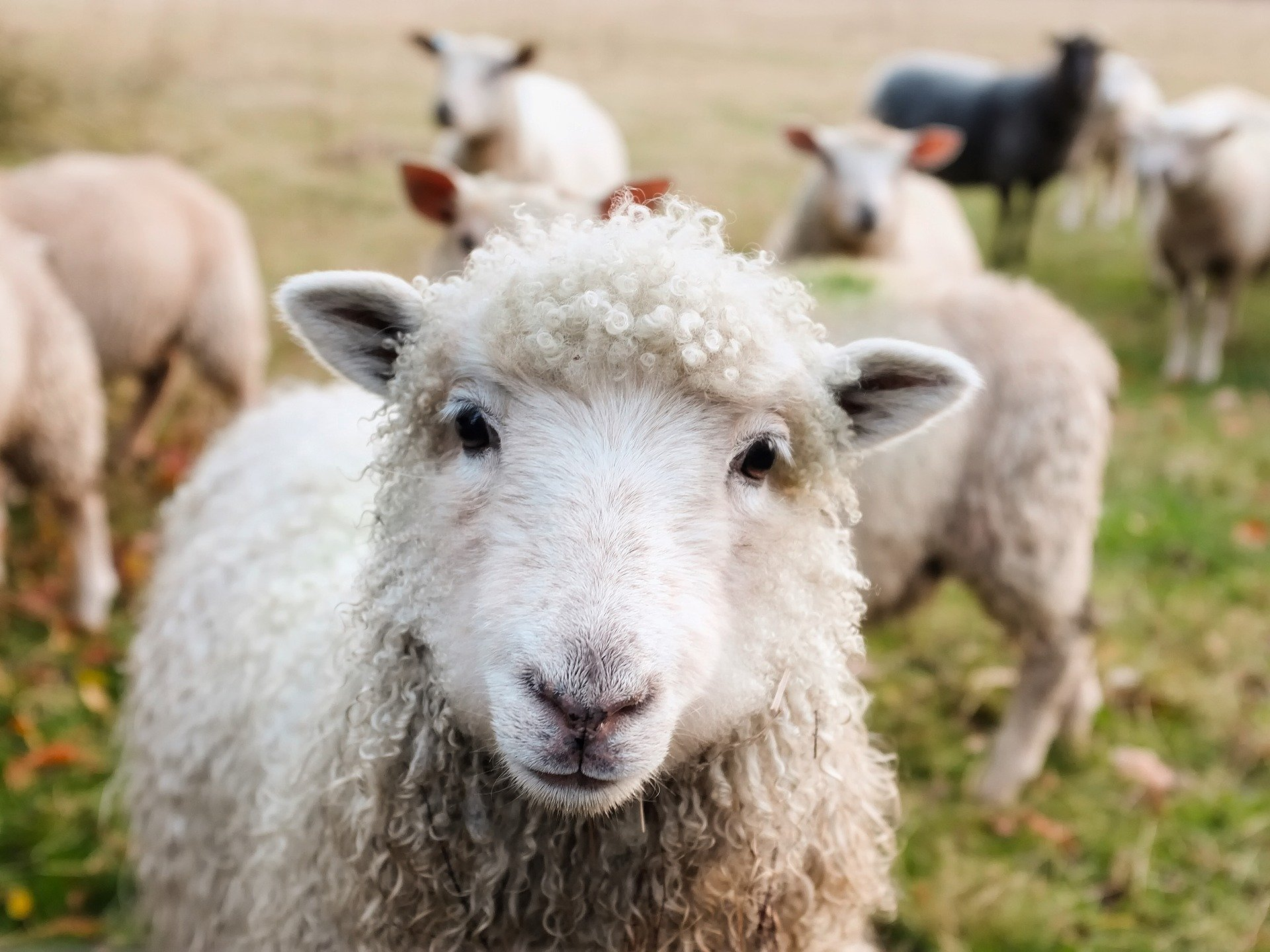 One sheep killed and another seriously injured in livestock attack