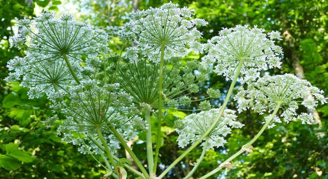 Giant Hogweed - How to identify and get rid of the toxic plant. Picture: Pixabay