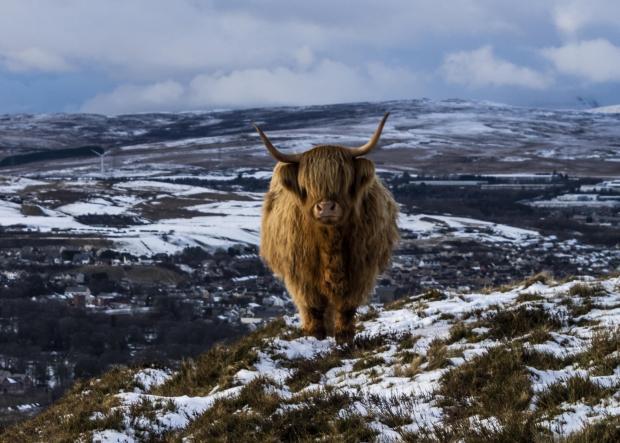 South Wales Argus: Highland Cow at Y Domen Fawr.