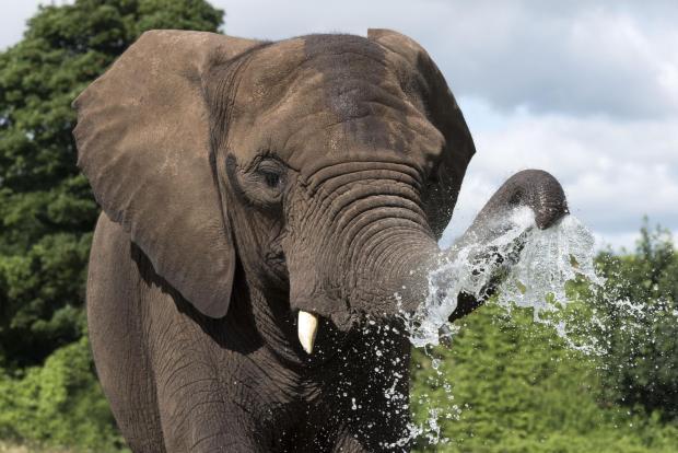 South Wales Argus: An elephant at West Midlands Safari Park.  Photo: Matthieu Lissimore