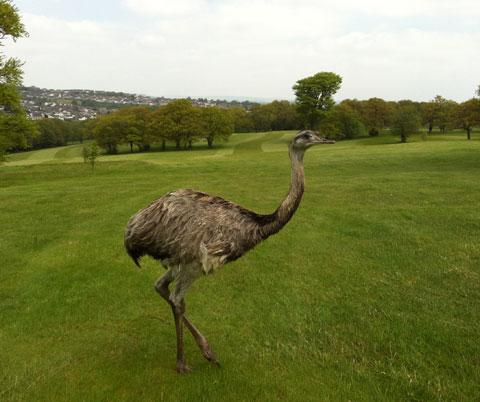 ON THE GREEN: The emu has left the rough for fairway