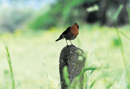 VANTAGE POINT: A robin perched on a post at Risca MM_8260
