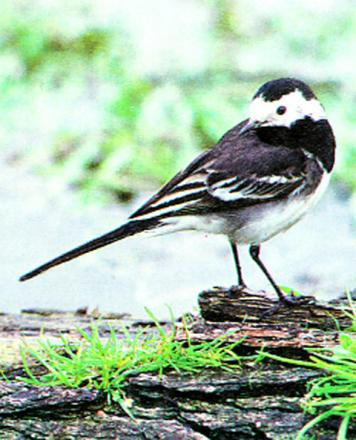 ON THE LOOSE: A Pied Wagtail like this has been inside a Newport Tesco store for five days