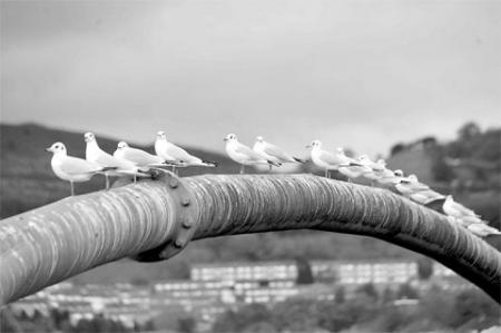 RIVER WATCHING: Gulls taking a rest at Risca MM_8955 Picture: MALCOLM MORGAN
