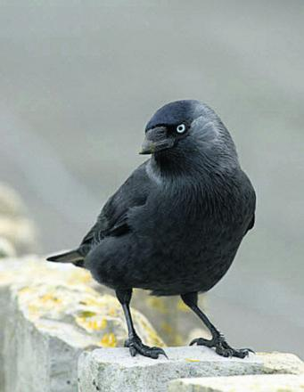 Firefighters help rescue trapped jackdaw