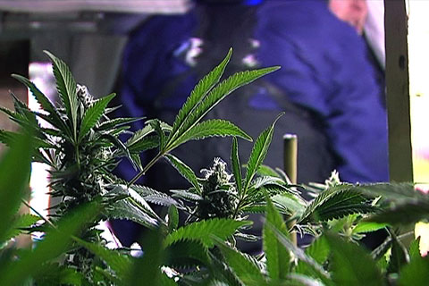 £3.5m worth of cannabis plants found in Newport