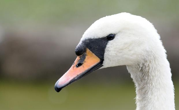 Swan on M4 in Newport causes obstruction