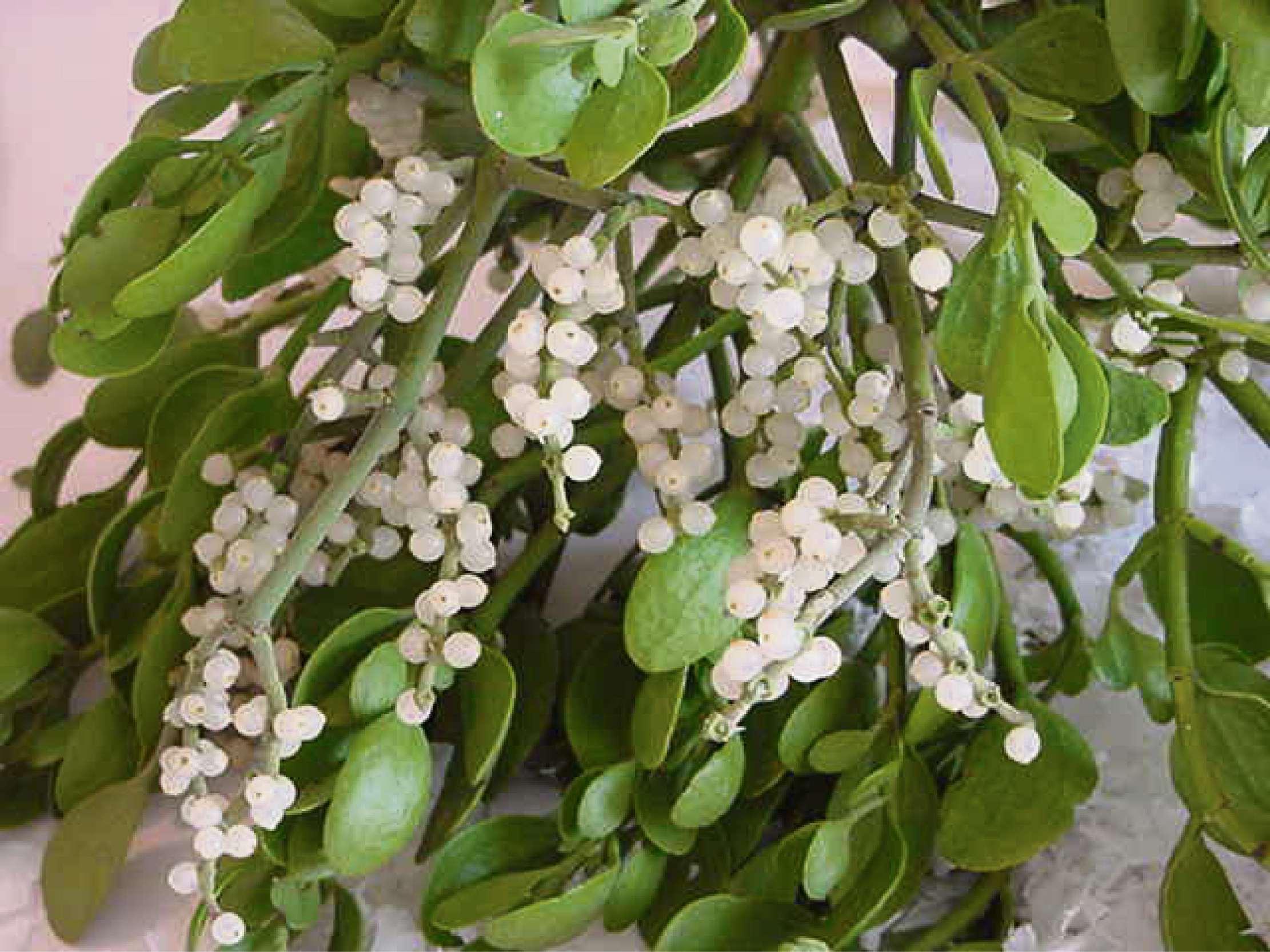 Its The Weekend Festive Mistletoe Is Growing In Popularity South