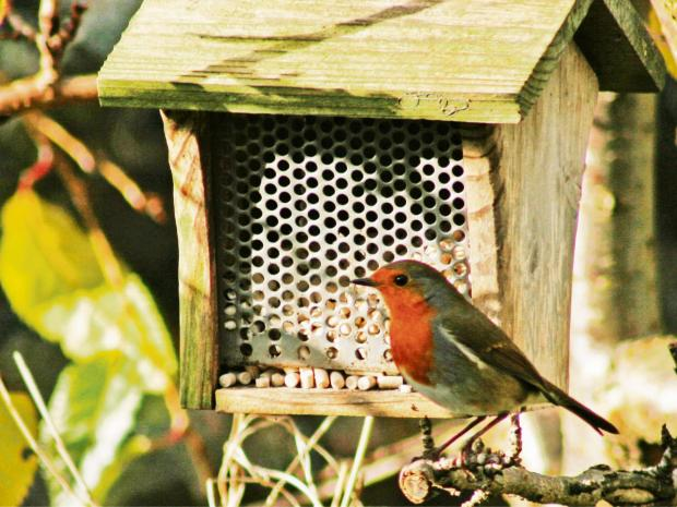 South Wales Argus: WINTER TIME: A robin near the bird feeder.