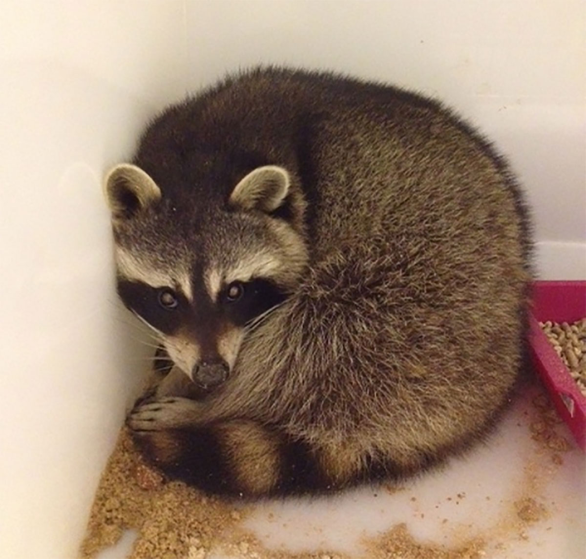 RESCUED: Cyril the racoon is in the care of Newport-based Budget Vets
