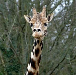 UK park 'offered to take doomed giraffe'