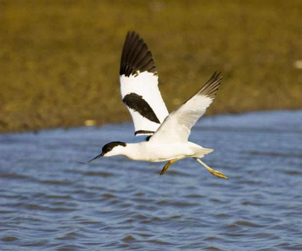 South Wales Argus: AVOCET