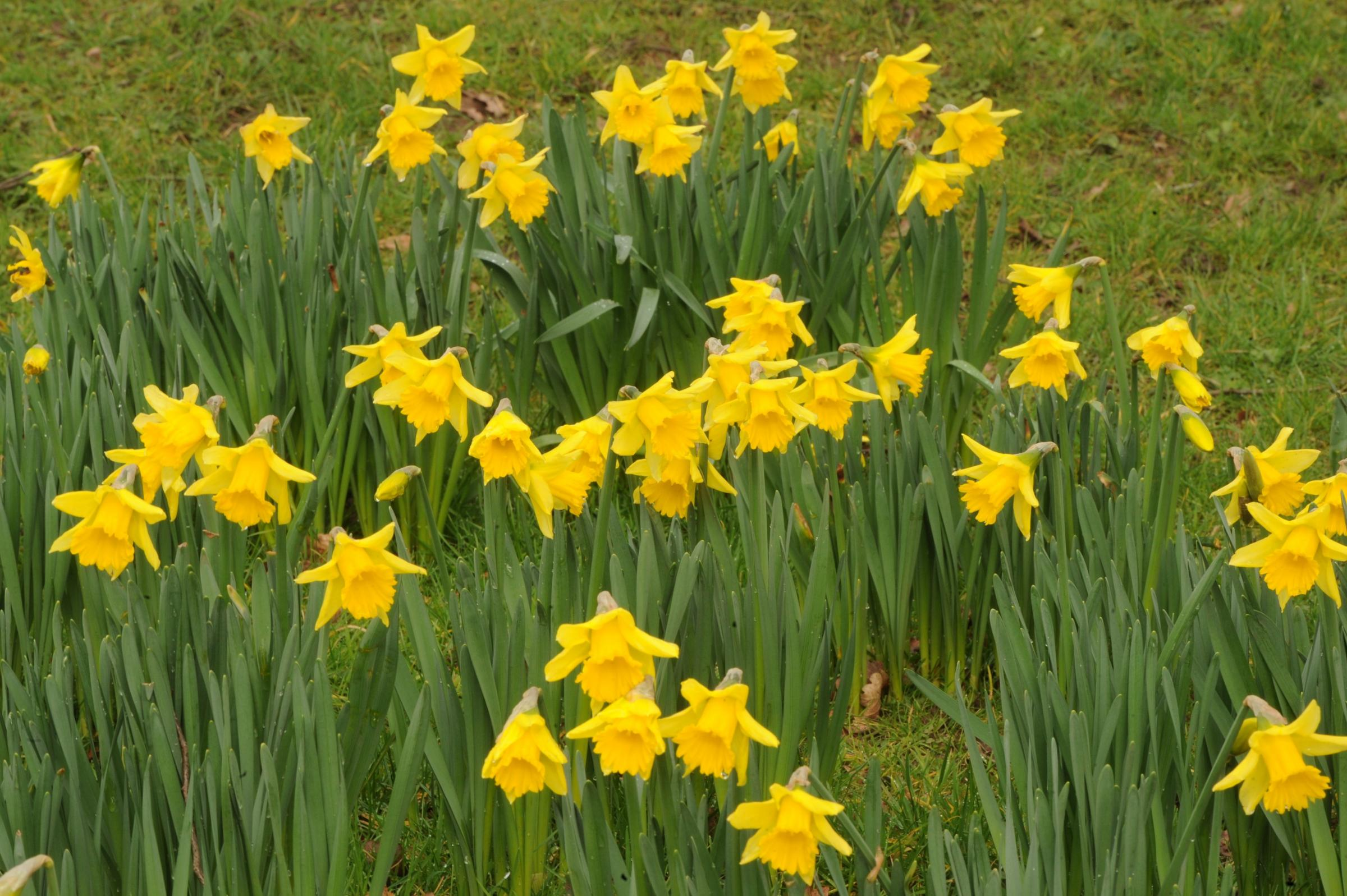 The national flower of wales is the daffodil, which is traditionally worn on st david 2019s day