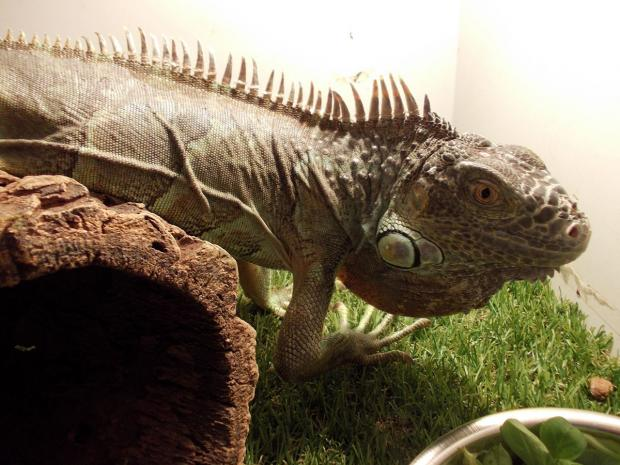 FOUND: This two-foot iguana was found in a Newport garden