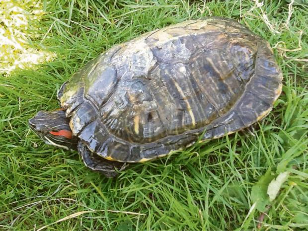 South Wales Argus: One of the rescued terrapins courtesy of the International Tortoise Association