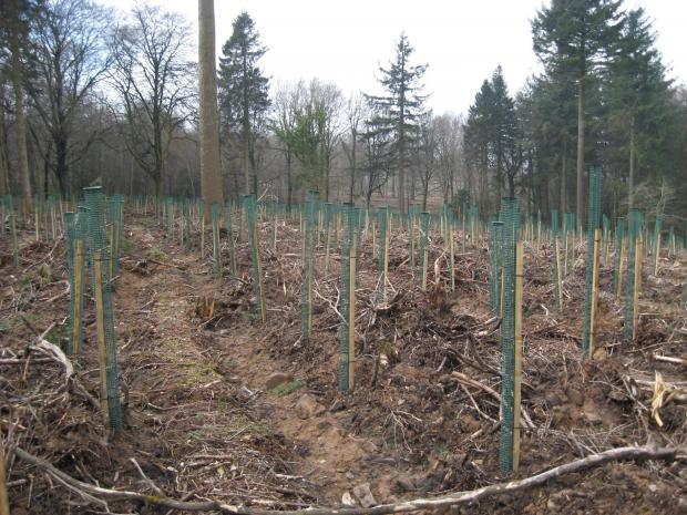 CLEAN START:  Replanting of an area where felling has taken place. (6460046)