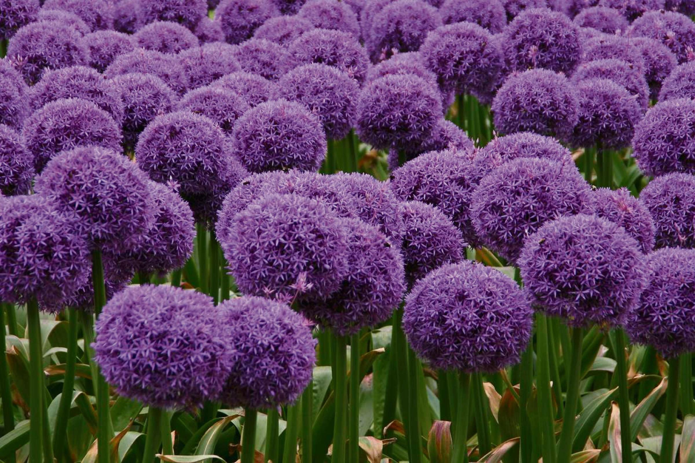 IT'S THE WEEKEND: Grow It - Getting gorgeous alliums