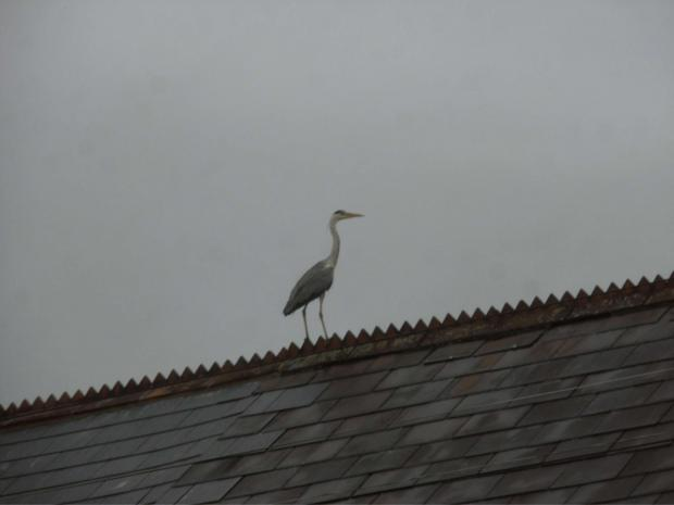 PERCHED: The heron on a neighbouring roof