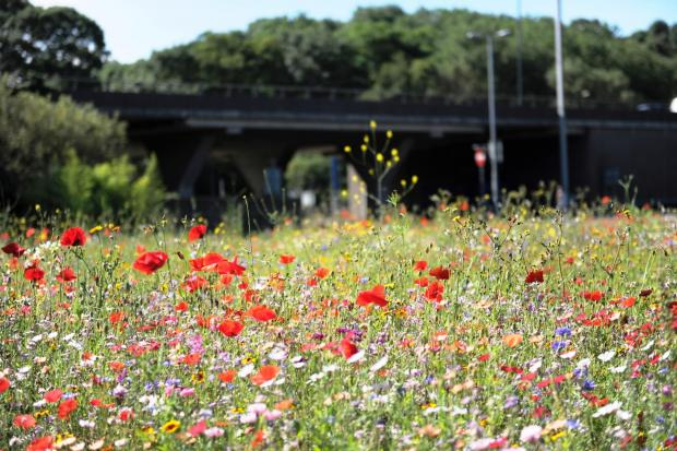 Pictue of the day. SEA OF COLOUR.  Pictured are wild flowers growing on the Coldra roundabout in Newport. (8422514)