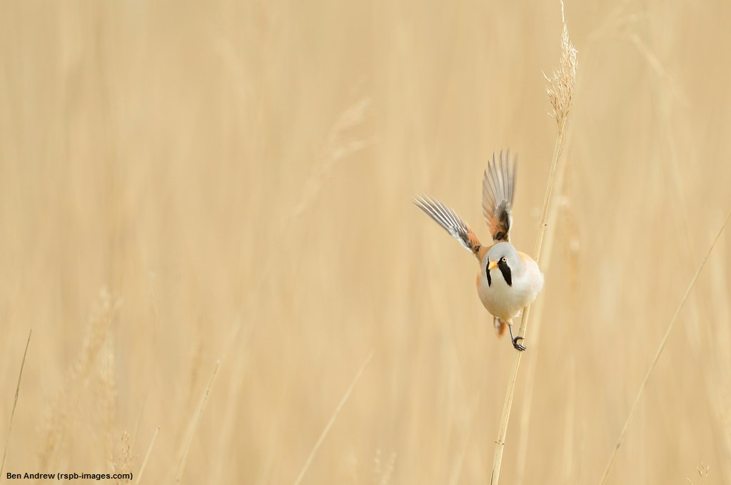 Bearded Tit and breakfast walk