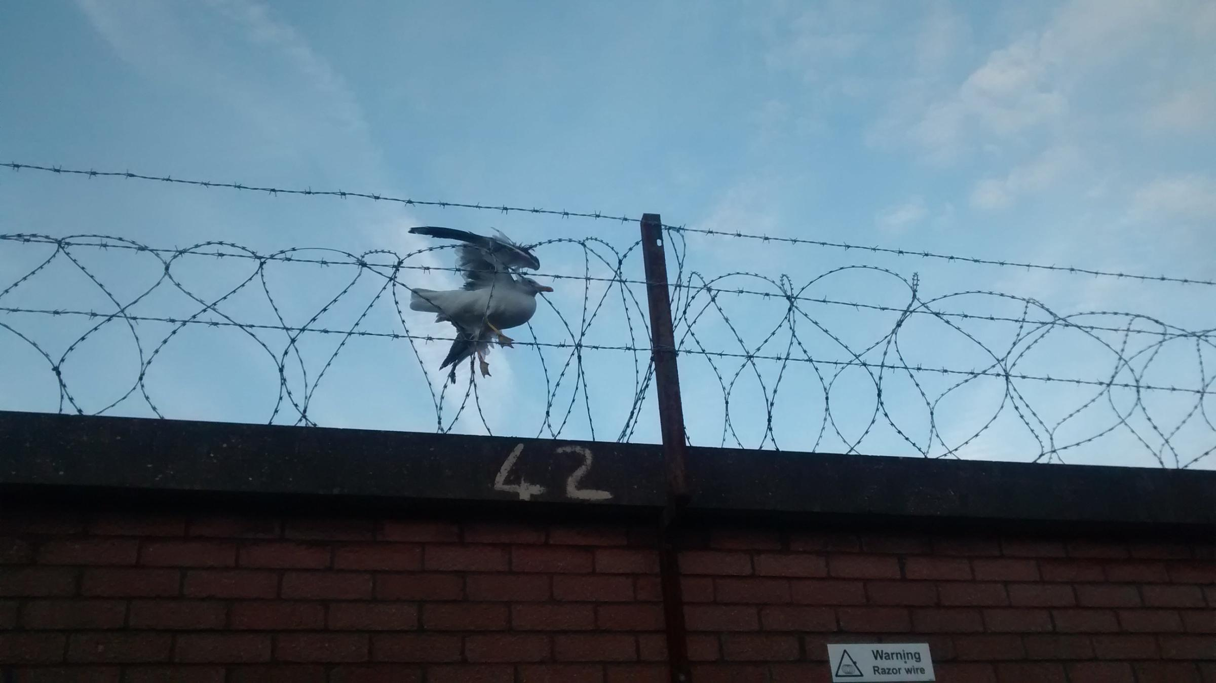 Entangled seagull has been put down | South Wales Argus
