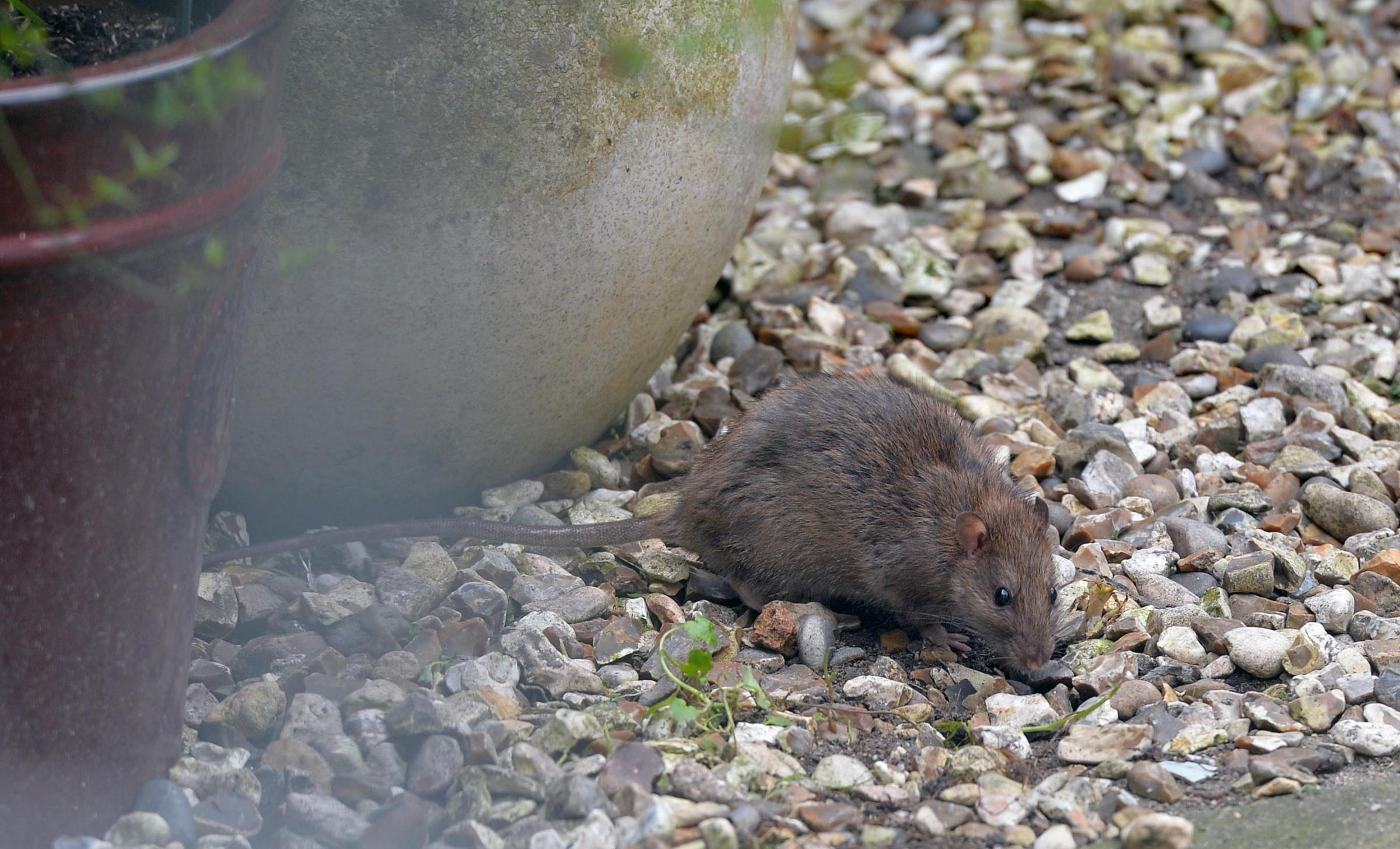 VERMIN: One of the many rats coming from the abandoned Chinese takeaway