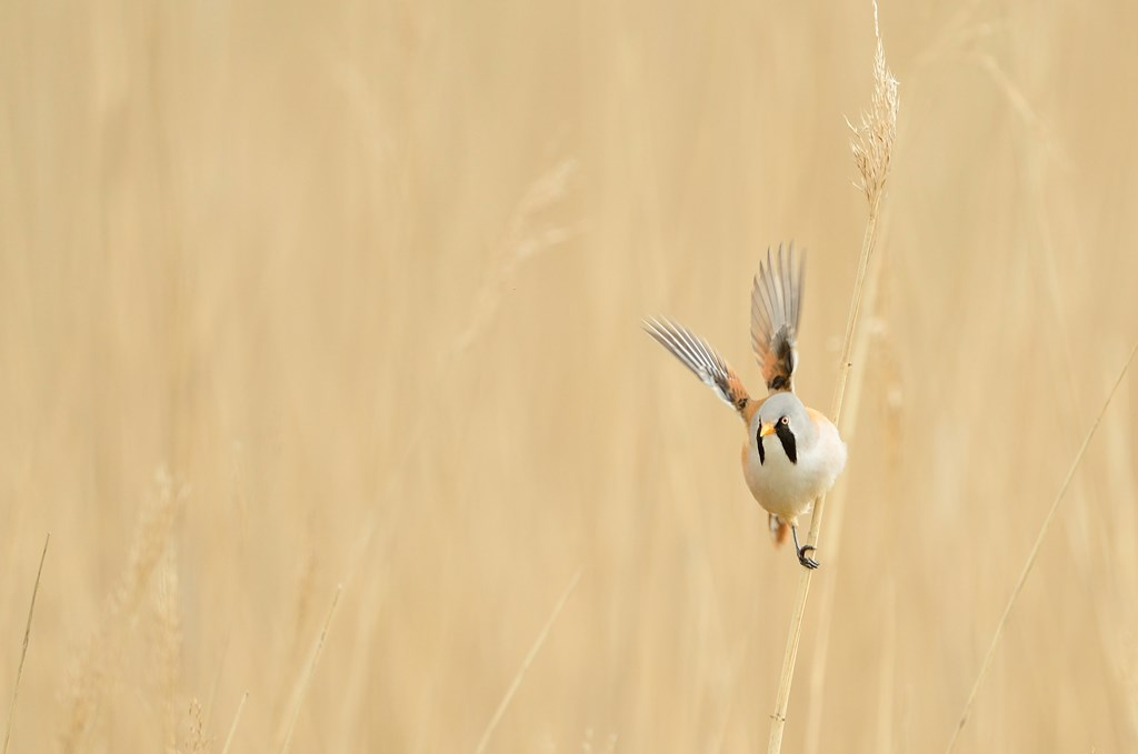 Bearded Tit & Breakfast Walk