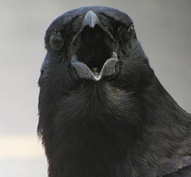 Hunt is on for Newport crow killer