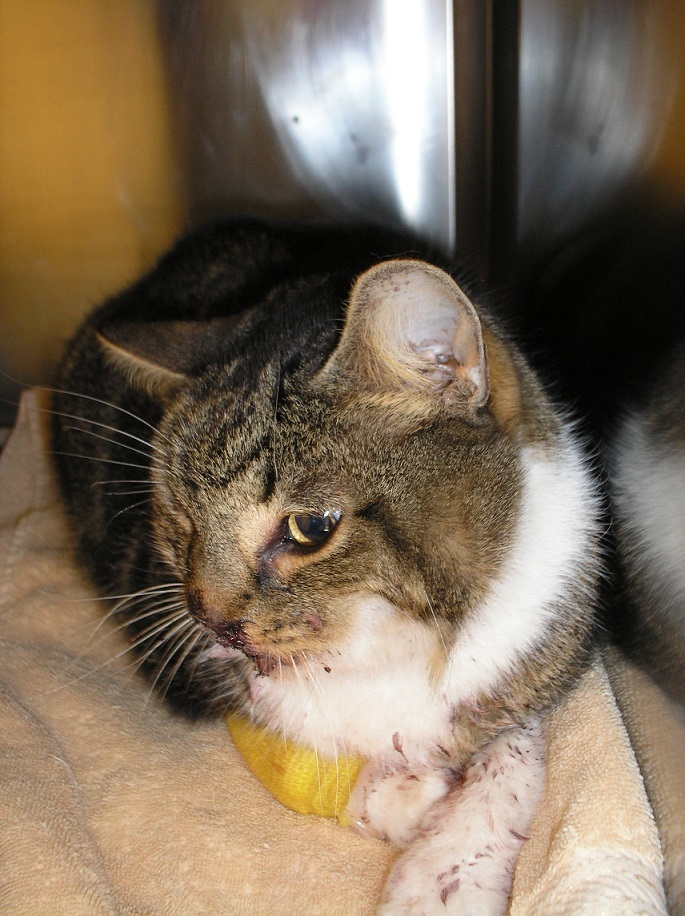 Search on to find owner of Tigger- injured cat from Tredegar