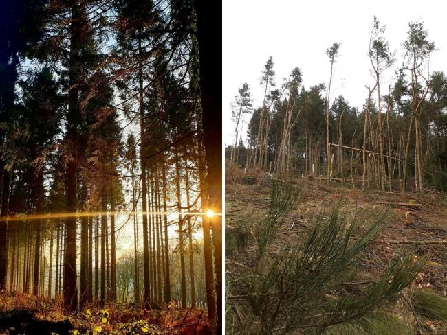 Wentwood Forest (left), and the aftermath of tree-felling in Cwmcarn Forest Drive to stop the spread of P.ramorum (right). Picture (left): South Wales Argus Camera Club member Elizabeth Turner